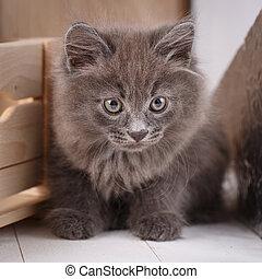 Kurilian Bobtail cat portrait