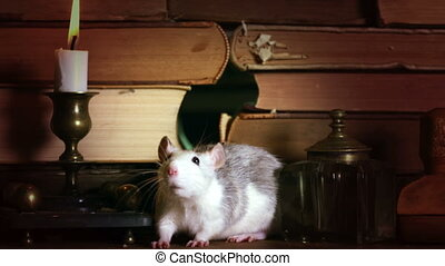 Cute gray rat crawls between old books on the table