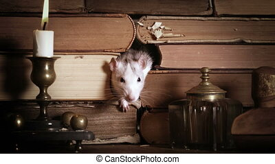 Cute gray rat runs among old books on the table