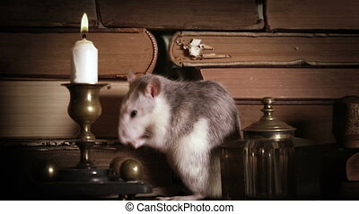 Cute gray rat washes among old books on the table with a ...