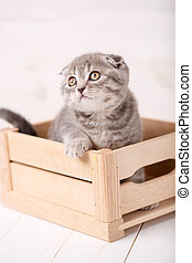 Scottish cat playing in wooden box