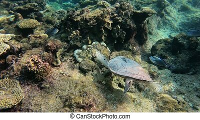 cute green sea turtle (Chelonia mydas) swim and feed on coral reef in turquoise water in a lagoon of red sea, Marsa Alam, Egypt