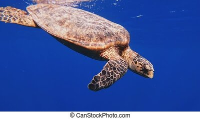 cute green sea turtle (Chelonia mydas) swim in deep blue water reef of red sea, Marsa Alam, Egypt