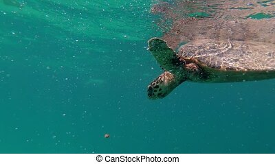 cute green sea turtle (Chelonia mydas) swim in turquoise water in a lagoon of red sea, emerges to take a breath, Marsa Alam, Egypt