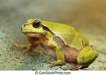 cute green tree frog close up