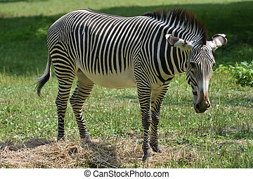 Cute grevy standing in a field of grass