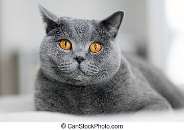 Cute grey cat laying on the sofa.