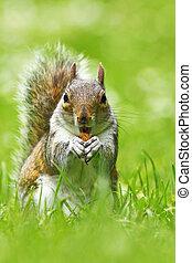 cute grey squirrel eating nut