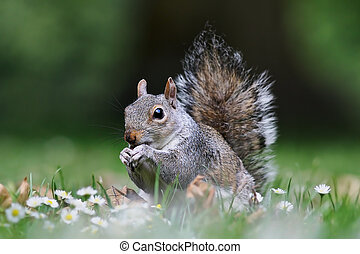 cute grey squirrel standing on lawn in the park