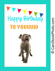 Cute grey stafford terrier puppy dog singing happy birthday to you on a birthday card on a white background with blue border