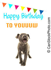 Cute grey stafford terrier puppy dog singing happy birthday to you on a birthday card on a white background