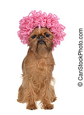 Cute griffon dog with pink curly wig, isolated on white ...
