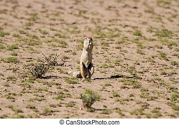 Cute ground squirrel searching for food in dry Kgalagadi desert