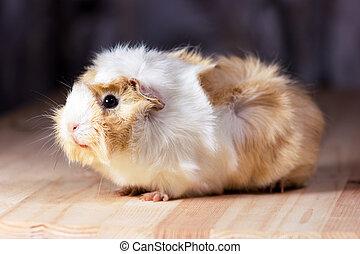 Cute guinea pig - Fluffy cute rodent - guinea pig on neutral...