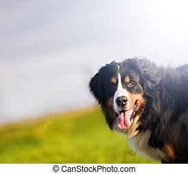 Cute happy dog portait. Bernese mountain dog