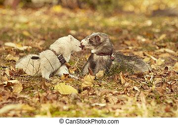 Cute happy ferret couple posing in sunny autumn park