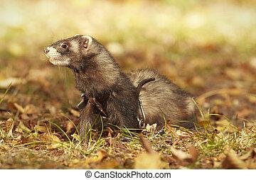 Cute happy ferret female posing in sunny autumn park