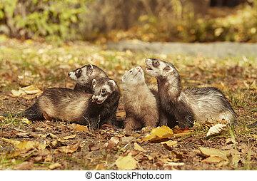 Cute happy ferret group posing in sunny autumn park
