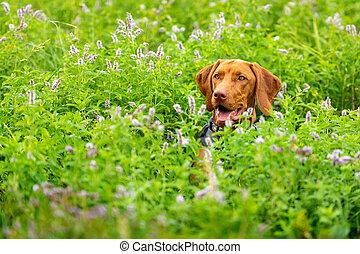 Cute happy smiling vizsla puppy enjoying walk through meadow full of flowers. Happy dog portrait outdoors.