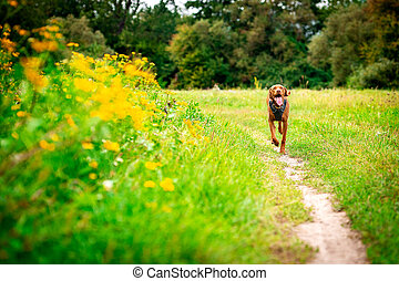 Cute happy vizsla puppy running through meadow full of flowers. Happy dog portrait outdoors.