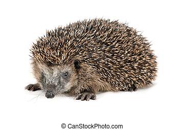 Cute hedgehog looking at the beholder
