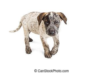 Cute Heeler Puppy Walking Forward on White