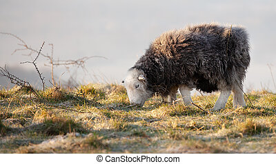 Cute Herdwick black sheep grazing on a hill