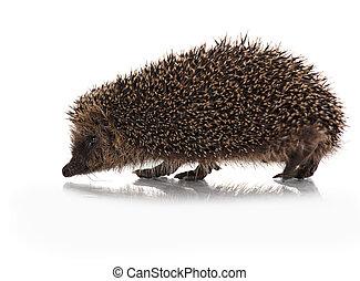 cute hodgehog on white - wild hodgehog on white background