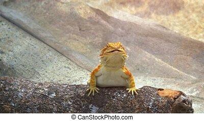 Cute Horny Toad Posing. hidef 1080p video - Very cute,...