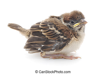 Cute Baby House Sparrow, isolated on white background.