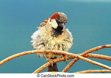 cute house sparrow male