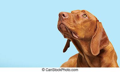 Cute hungarian vizsla puppy studio portrait. Dog looking up headshot over blue background banner.