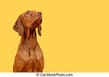 Cute hungarian vizsla puppy studio portrait. Dog looking up headshot over bright yellow background.
