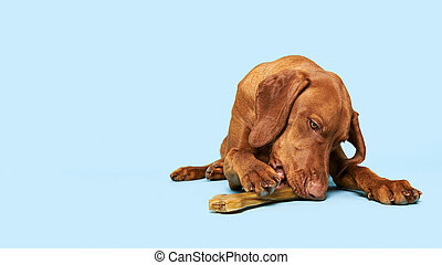 Cute hungarian vizsla puppy with rawhide chew bone studio portrait over blue background. Beautiful dog chewing on a natural rawhide bone.