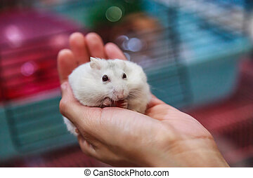 cute hungry female Winter White Dwarf Hamster (Winter White Dwarf, Djungarian, Siberian Hamster) is on owner hand, eating pet food. Pet health care, friend, fun, love and domestic house pet concept