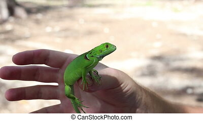Iguana depth of field in my hand - Cute Iguana depth of...