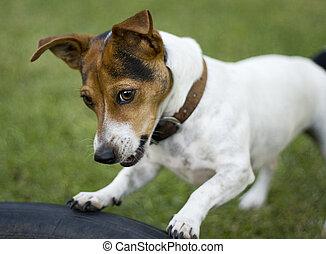 Cute jack russel dog