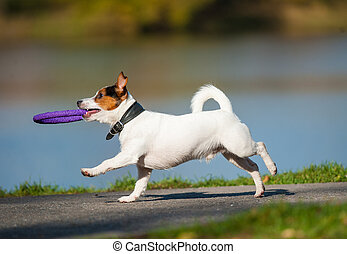 Cute jack russel dog running