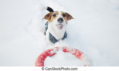 jack russell dog playing happily outdoors in white fresh...