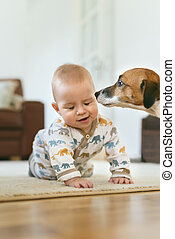 Cute jack russell dog sniffs beautiful crawling baby with living