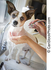 Cute Jack Russell Terrier Getting a Bath in the Sink