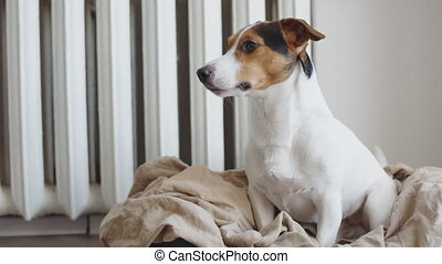 Cute Jack Russell Terrier on his place. - Cute Jack Russell...