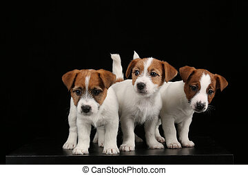 Cute jack russell terriers babies. Close up. Black background