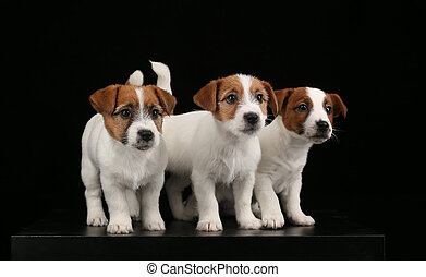 Cute jack russells babies. Close up. Black background