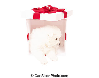 Cute Japanese Spitz and white holiday box. isolate