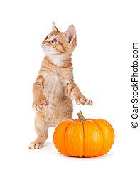 Cute kitten caught stealing a mini pumpkin on white. - Cute...