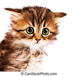 Cute kitten - Cute little Siberian kitten isolated on white...