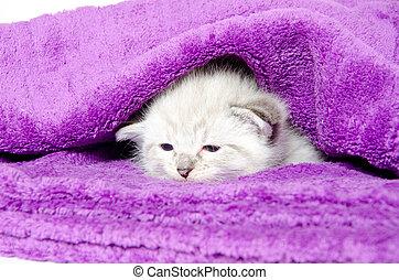 Cute baby kitten resting inside of a purple blanket