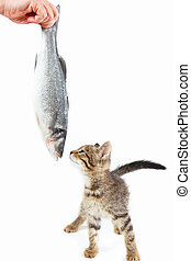 Cute kitten looking at sea bass fish which gives it a female...