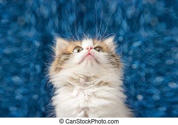 cute kitten looking up with surprise on blue background